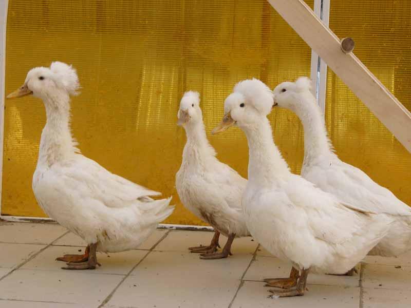 Белые утки